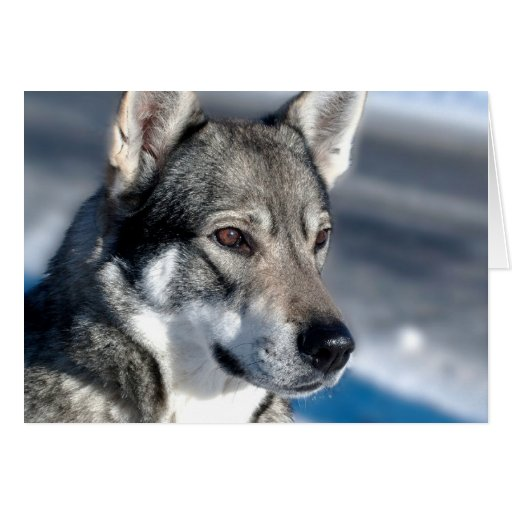 Perro esquimal en tarjeta de nota de la nieve
