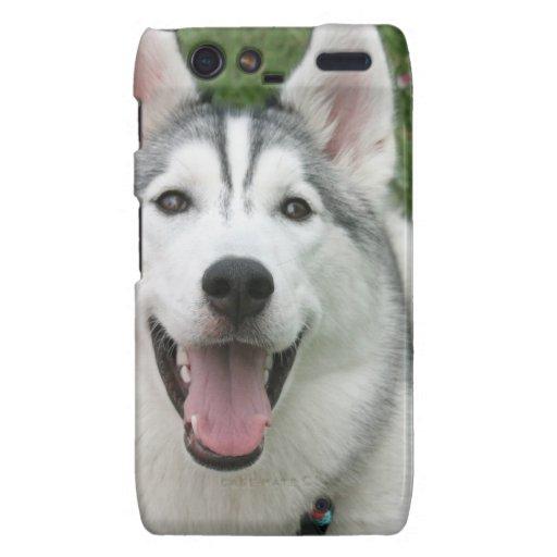 Perro esquimal feliz motorola droid RAZR carcasa