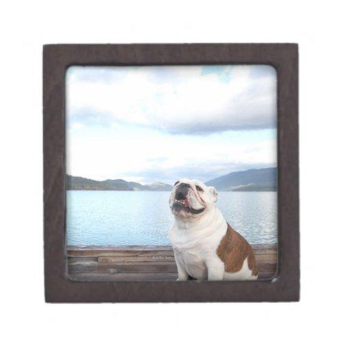 perro feliz del toro que se sienta en cubierta caja de regalo de calidad
