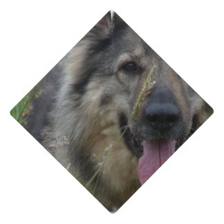 Perro finlandés de Lapphund