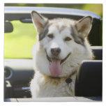 Perro fornido del convertible azulejo cuadrado grande