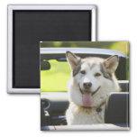Perro fornido del convertible imán cuadrado