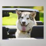 Perro fornido del convertible póster