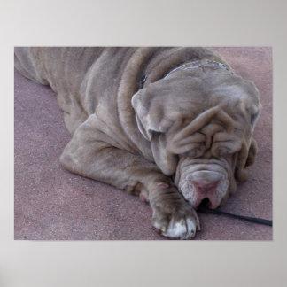 Perro grande que duerme en una calle póster