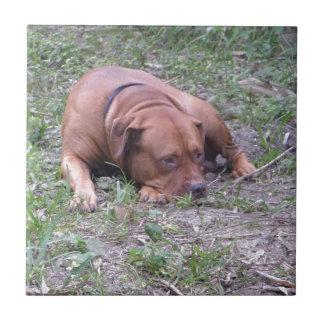 Perro hermoso de Bull de la Rojo-Nariz Azulejo Cuadrado Pequeño