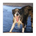 Perro joven del border collie en la playa tejas