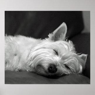 Perro lindo de Westie (montaña del oeste Terrier) Póster