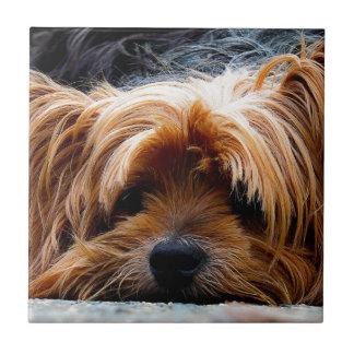 Perro lindo de Yorkshire Terrier Azulejo Cuadrado Pequeño