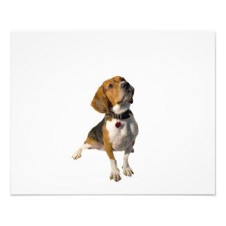 Perro lindo del beagle cojinete