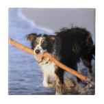 Perro lindo del border collie con el palillo en la azulejo ceramica