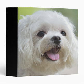 Perro maltés blanco que pega hacia fuera la lengua