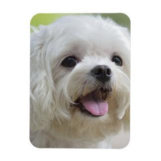 Perro maltés blanco que pega hacia fuera la lengua iman de vinilo