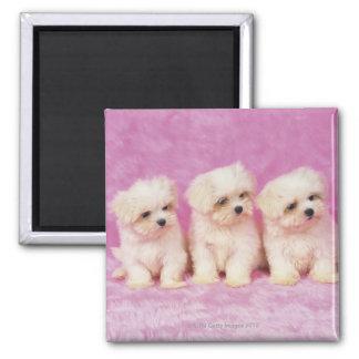 Perro maltés; es una pequeña raza del perro blanco imanes para frigoríficos