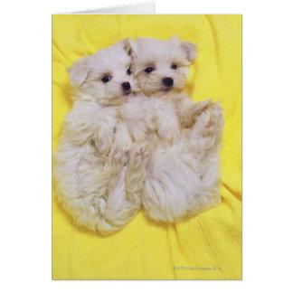 Perro maltés; es una pequeña raza del perro blanco tarjeta de felicitación