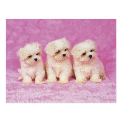 Perro maltés; está una pequeña raza del perro blan postales