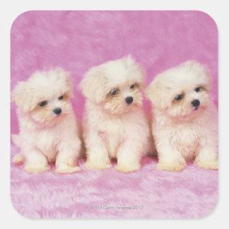 Perro maltés; está una pequeña raza del perro pegatina cuadrada