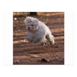 Perro maltés lindo postales