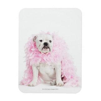 Perro masculino blanco con la boa rosada iman rectangular