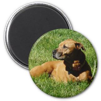 perro, mezcla del pitbull/del boxeador imán redondo 5 cm