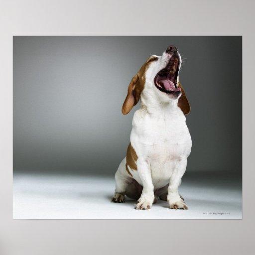 Perro mezclado que bosteza, primer de la raza poster