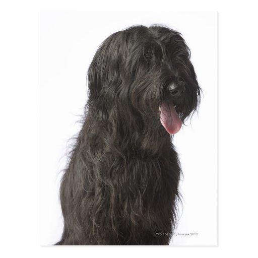 Perro negro, Briard Tarjeta Postal