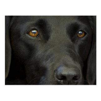 Perro negro de Labrador Postal