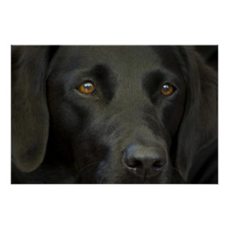 Perro negro de Labrador Póster