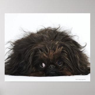 Perro negro de Pekingese que se acuesta Poster