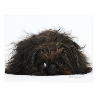 Perro negro de Pekingese que se acuesta Postal