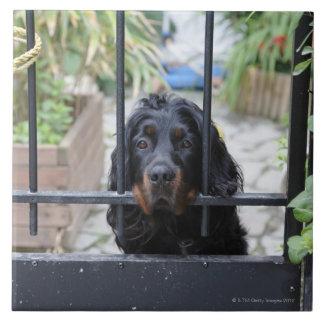 Perro negro detrás de la cerca, Bretaña, Francia Azulejo Cuadrado Grande