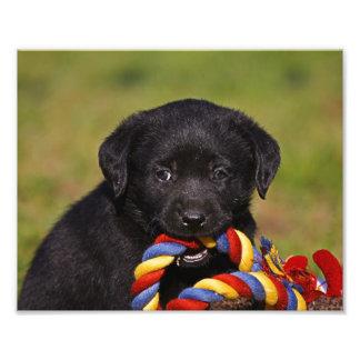 perro negro Labrador Retriever cachorro póster de  Fotografías