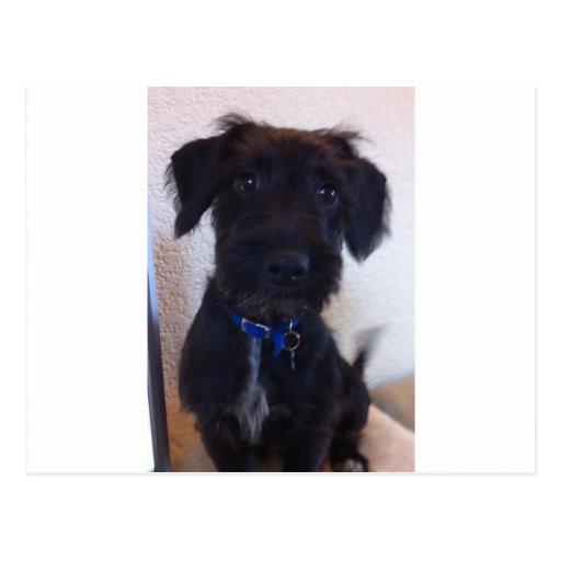 Perro negro tarjetas postales
