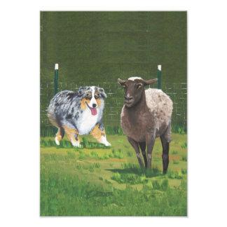 Perro pastor australiano del pastor que reúne la fotografía