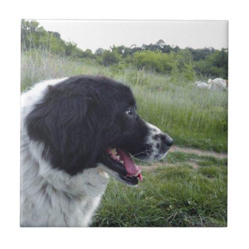 Perro pastor búlgaro azulejos ceramicos
