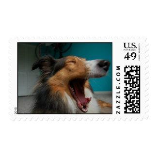 Perro pastor de Shetland Envio