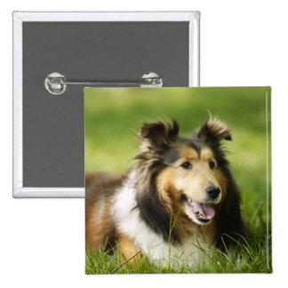 Perro pastor de Shetland que se sienta en la hierb Pin