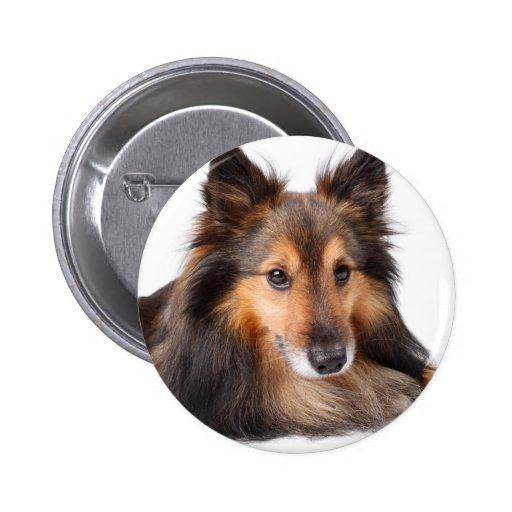 Perro pastor de Shetland, Shetie (Sable) que parec Pins