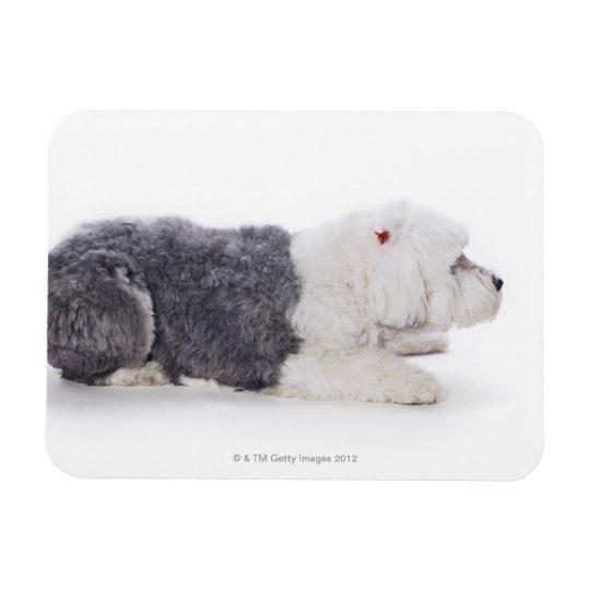 Perro pastor inglés viejo en el fondo blanco imanes rectangulares