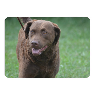 Perro perdiguero de bahía de Chesapeake Comunicados