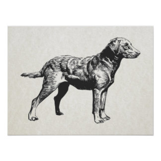 perro perdiguero de bahía de Chesapeake Posters