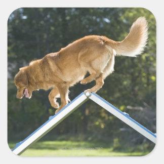 perro perdiguero pato-tocante de Nueva Escocia Colcomanias Cuadradas