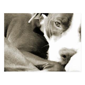 perro perezoso soñoliento lindo del pitbull postal