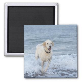 Perro que corre en agua en la playa imán cuadrado