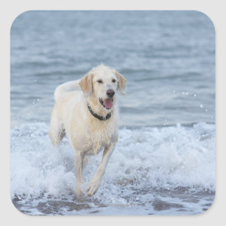 Perro que corre en agua en la playa pegatina cuadrada
