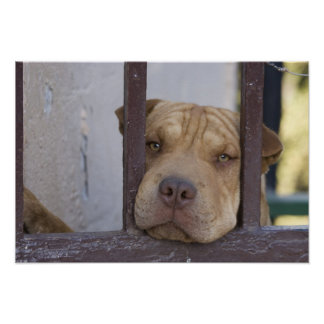 Perro que mira a través de una puerta, Valparaiso, Póster