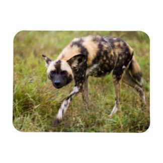 Perro salvaje africano Lycaon Pictus juego de Imán Flexible