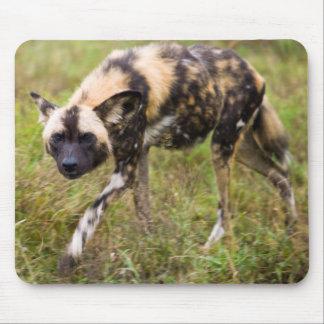 Perro salvaje africano Lycaon Pictus juego de