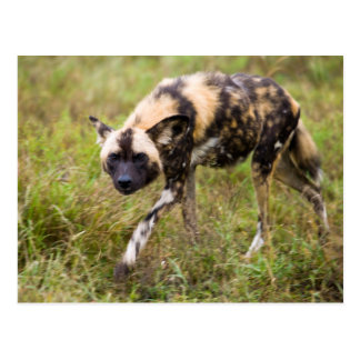 Perro salvaje africano Lycaon Pictus juego de Tarjeta Postal