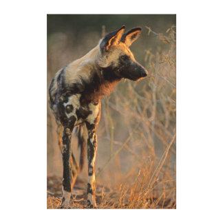 Perro salvaje africano (Lycaon Pictus), Kruger Impresión En Lienzo