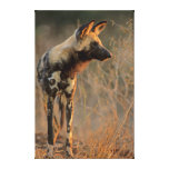 Perro salvaje africano (Lycaon Pictus), Kruger Impresion De Lienzo